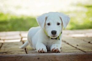 ideas on how to make money. Photograph of a Labrador puppy.